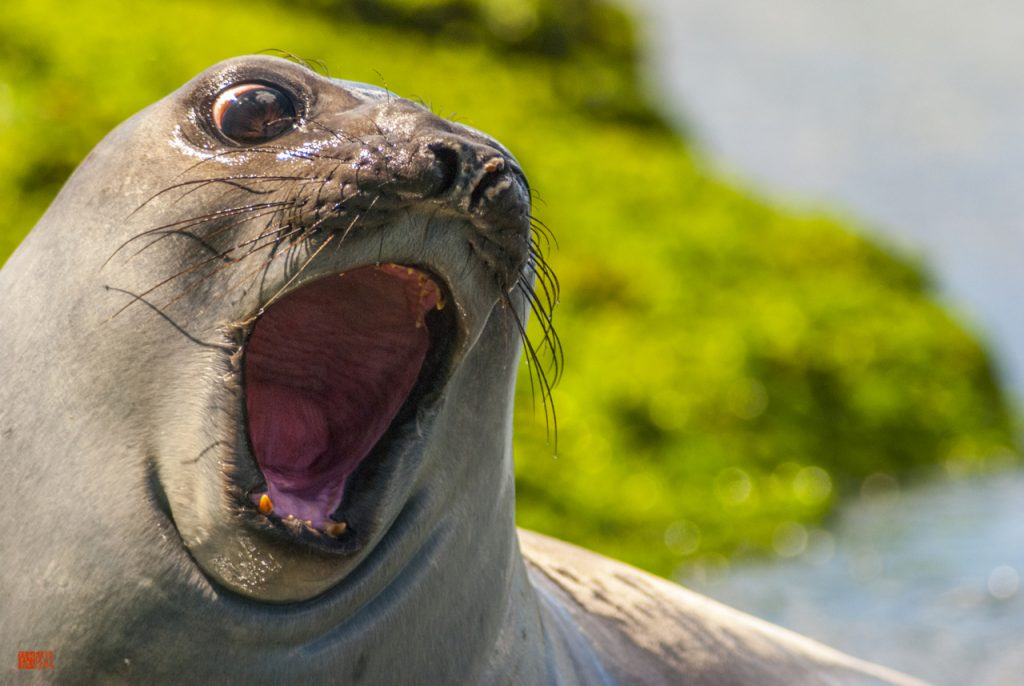 Souther elephant seal